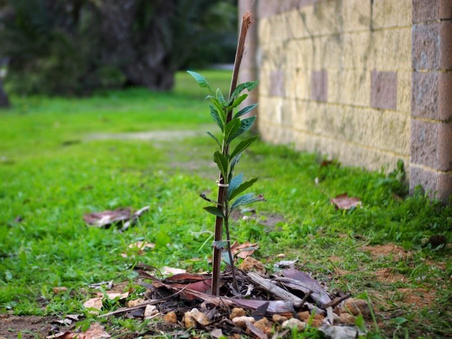 Laurel recien plantado en un parque
