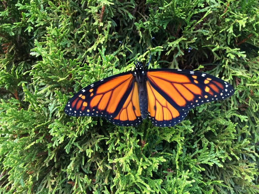 monarch Sept 2015IMG_0392