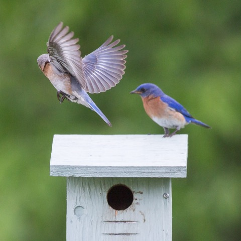 Bluebirds #11