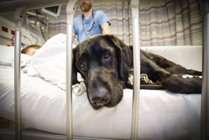 """Loyal dog won't leave autistic boy's side Came with legal consent to run the pics without consent from the parents. """"As discussed, I think we can use these pics. Even if IPSO code is an issue, these have been posted by him and the hospital would have got parental consent. Karen Johnson """" Taken from: https://www.facebook.com/photo.php?fbid=827798264032621&set=a.827798170699297.1073741827.100004073646464&type=3 Credit: Louise Goossens/ Wellington Children's Hospital"""