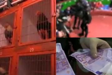 VIDEO: Dode hanen, wapens en cash gepakt bij inval hanengevechten