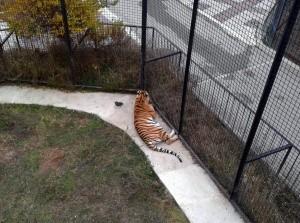 "Олег Зубков_""Тайган""_тигр"
