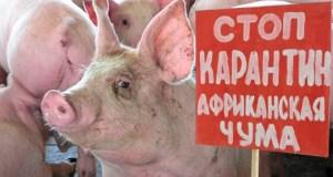 Африканская чума свиней крымских хрюшек не щадит