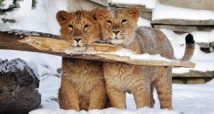 В Детском парке Симферополя можно будет сделать фото со львятами