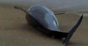 В Крыму дельфины выбросились на берег и погибли