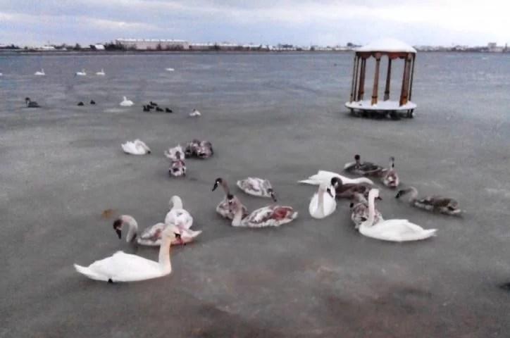 Диких лебедей освободили изледяного плена вЕвпатории