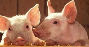 Ветеринары Севастополя опасаются, что севастопольские свиньи могут подхватить АЧС от крымских