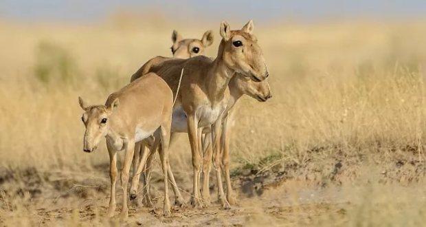"В природном парке ""Тарханкутский"" поселили сайгаков"