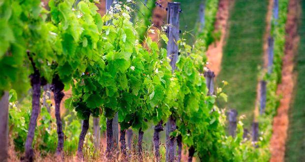 В Крыму высаживают новые виноградники. И будут высаживать