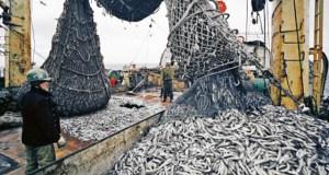 В Азовском море из-за медуз снизилась популяция хамсы