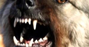 СМИ: ялтинцы напуганы информацией о появившейся в городе стае агрессивных собак