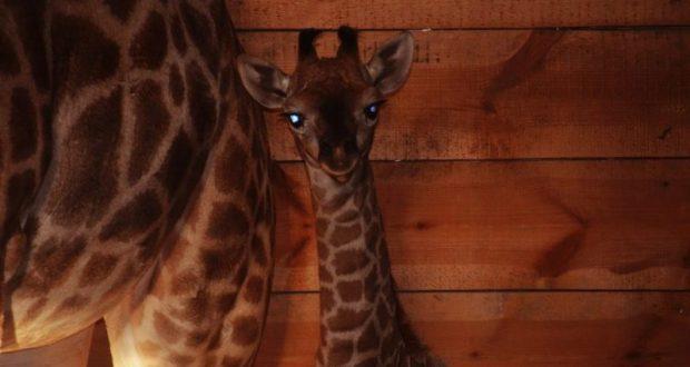 """В парке львов """"Тайган"""" - длинношеее пополнение: родился жирафёнок"""