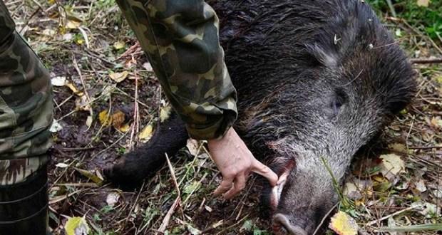 что африканская чума свиней ярославль 2016 корпуса