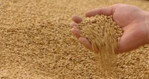 В Крыму нашли свыше 700 тонн опасного, ядовитого зерна