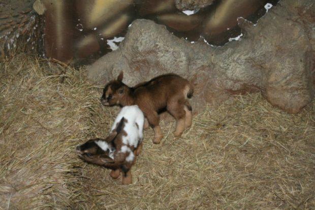 В Animal Park в Алуште камерунские козочки стали родителями