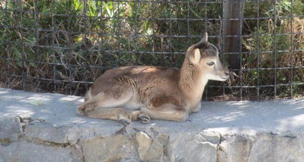 В сафари-парке «Тайган» - пополнение в «семье» муфлонов