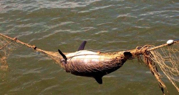 В акватории крымского посёлка Черноморское в сетях рыболовов погиб дельфин