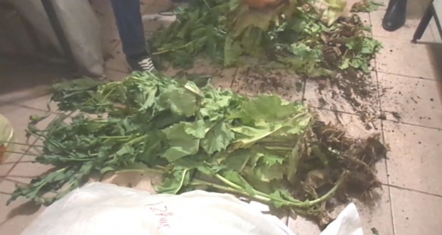 В Ленинском районе Крыма пенсионерка вырастила на участке 608 кустов мака