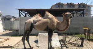 В Коктебеле нашелся верблюд без документов
