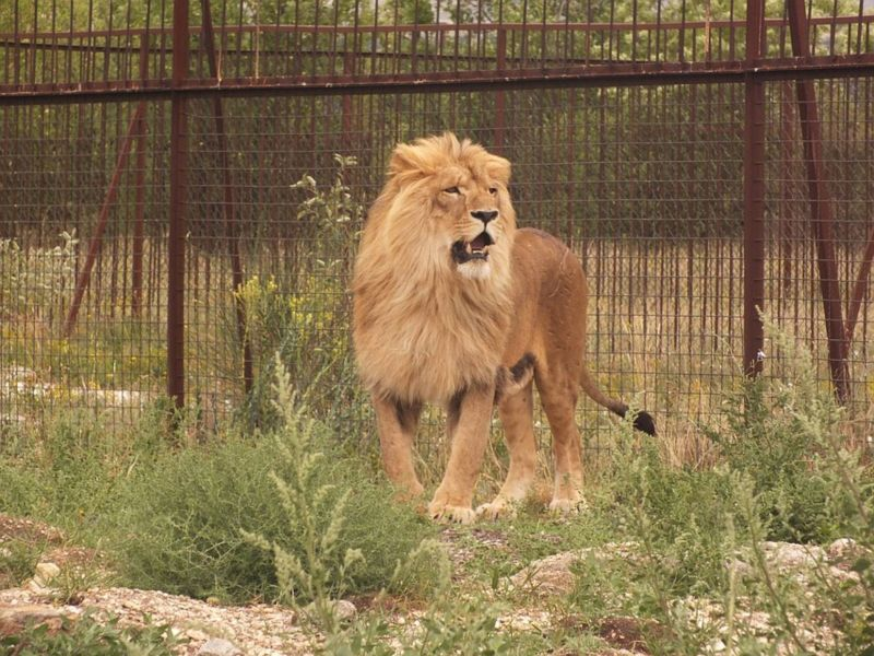 В сафари-парке «Тайган» лев укусил женщину