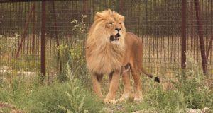 В сафари-парке «Тайган» лев укусил женщинуВ сафари-парке «Тайган» лев укусил женщину