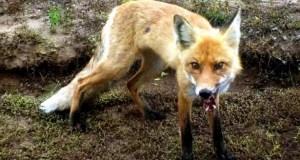 На северо-западе Крыма объявились бешеные лисы