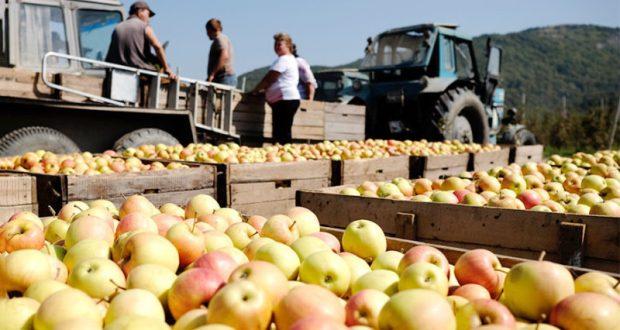 В Крыму ожидают рекордный урожай яблок