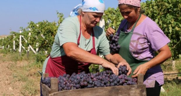 В Севастополе Центр занятости предложил горожанам собирать виноград