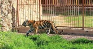 В зооуголке Детского парка Симферополя – пополнение: амурская тигрица Кира