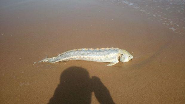 В Крыму на пляже обнаружены мертвые дельфины и осетры