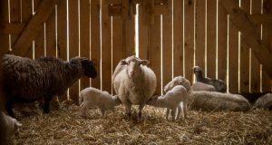 Вечером - овцы, утром - деньги. Мошенничество в Джанкойском районе