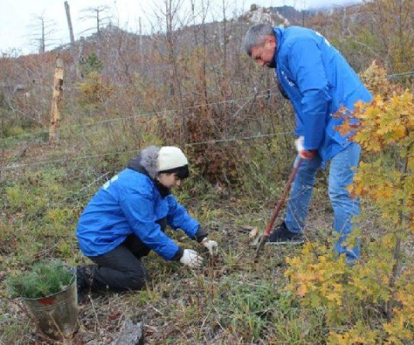 В Ялтинском горно-лесном заповеднике высадили 10 тысяч саженцев сосны крымской