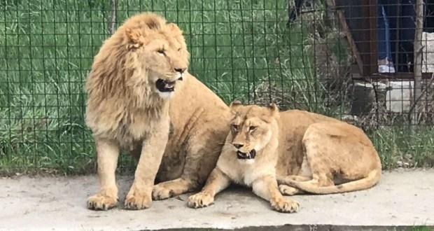 Львы в саванне. В крымском сафари-парке «Тайган» открылся новый сезон