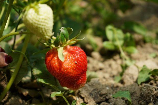 В Севастополе клубнику выращивают, благодаря грантовой поддержке