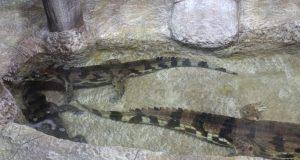 В Алуштинском аквариуме поселились ганские гавиалы