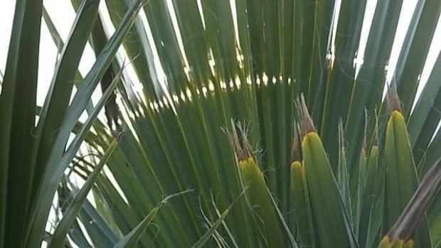 Ученые разобрались, кто угрожает пальмам Южного берега Крыма, и даже знают, как победить вредителя