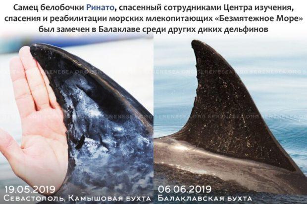 """В акватории Балаклавы сотрудники """"Безмятежного Моря"""" встретили дельфина, которого спасли в мае"""