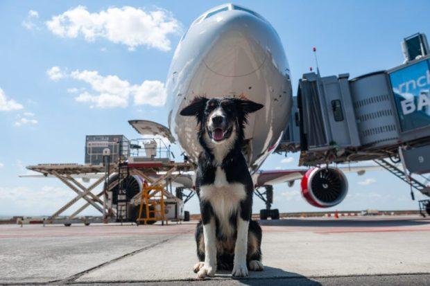 """100 дней на службе - талисман аэропорта """"Симферополь"""" собака Алиса отмечает юбилей"""