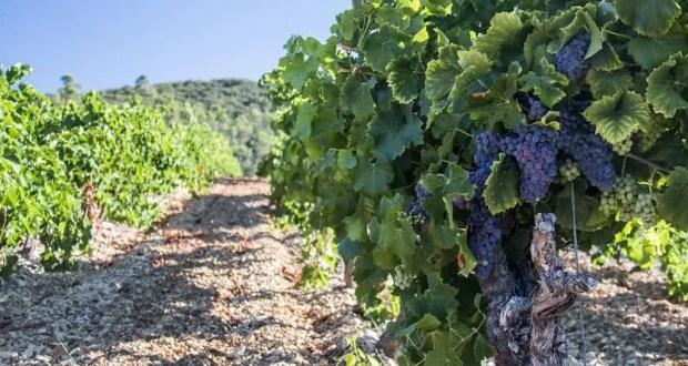 Крым расторг инвестконтракт по одному из крупнейших винных проектов с компанией «Таврика Крым»