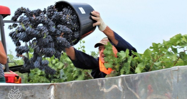 В Крыму уборочная кампания винограда перешла в завершающую стадию