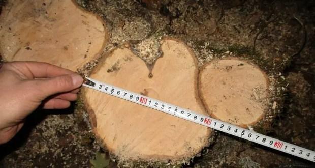В Крыму лесная охрана выявила факт незаконной рубки деревьев в особо крупном размере