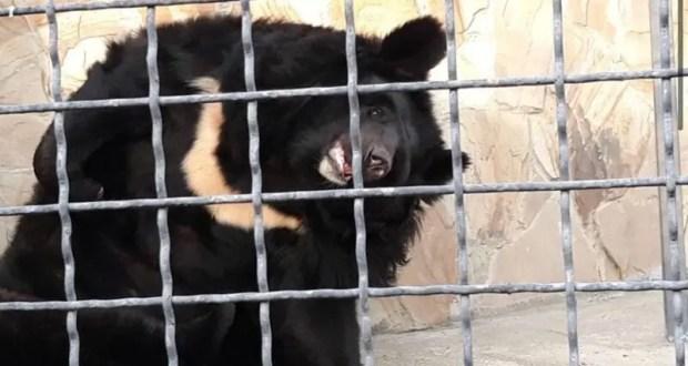 В Ингушетии готовы забрать «лишних» медведей из крымского сафари-парка «Тайган»