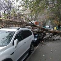 Погода не шутит: в Симферополе от порыва ветра рухнуло дерево. Прямо на автомобиль