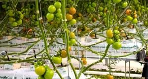 Крупнейший производитель крымских томатов с начала 2020 года собрал 200 тонн урожая