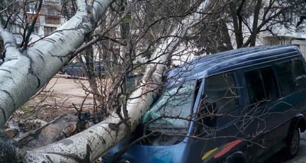 В Севастополе тополь рухнул на припаркованный автомобиль