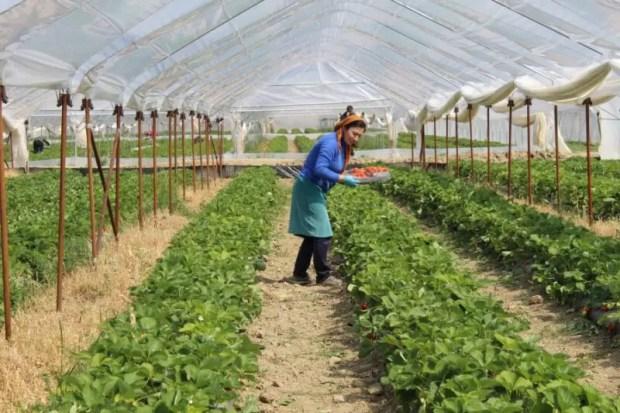 В Севастополе ожидают рекордный урожай клубники