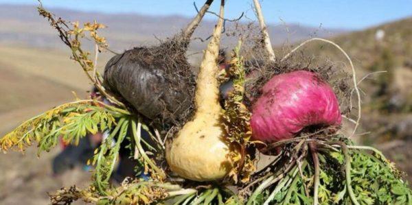 Мака перуанская - полезные свойства и противопоказания