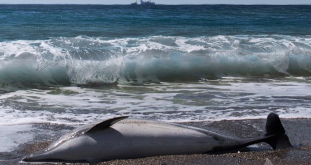 На восточном побережье Крыма – массовая гибель дельфинов. «Обратная сторона» рыбной ловли