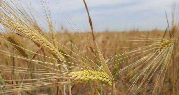 В Крыму началась уборочная кампания озимых зерновых культур-2020