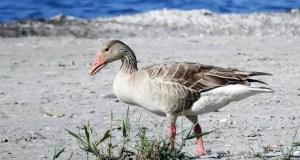 Крымского серого гуся теперь будут охранять по закону